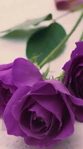 221 best purple roses images on pinterest purple roses flowers
