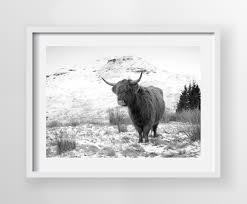 bull highland cow print in white frame hearts desire homewares