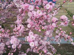 northern cherry blossoms flowery prose
