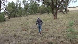 king percy aboriginal voice dub kangaroo gets wild with car
