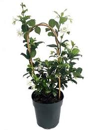 Fragrant Patio Plants - amazon com summer snow gardenia hardy to 0 degrees very