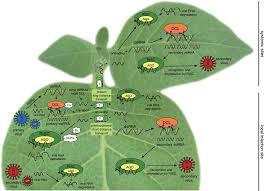 Viral Disease In Plants Page 489 Antagonistic Withinâ U2022 U0027host Interactions Between Plant Viruses