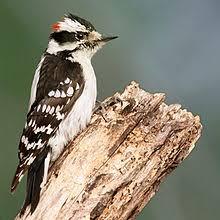 Ontario Backyard Birds List Of Birds Of Ontario Wikipedia