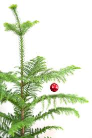 photo of evergreen pine christmas tree with a red bauble free