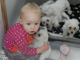 bichon frise funny bichon frise puppies funny puppy u0026 dog pictures