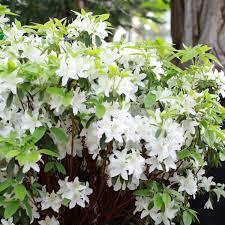 Azalea Topiary Azalea Japonica Mary Helen Azalea 10l Clifton Nurseries