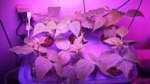 indoor hydroponic green beans using the 600 watt higrow led grow