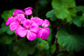free stock photo of beautiful flowers pink flowers pink flowers