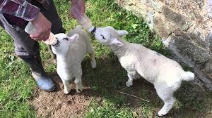 bottle feeding orphan lambs youtube