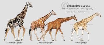 giraffe subspecies by namu the orca on deviantart