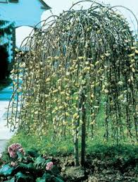 152 best willow images on garden ideas