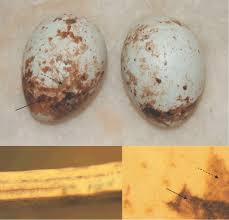ground eggshells sparrowhawk eggshells two eggs collected in 1905 showing