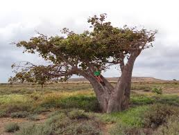 gc419c4 baobab traditional cache in cape verde created by