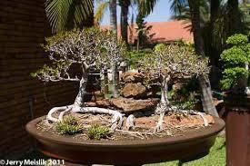 bonsai tour to south africa