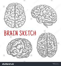 brain sketch symbols engraving illustrations anatomically stock