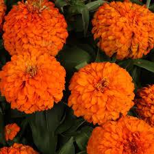 port orange florist zinnia annuals garden plants flowers the home depot