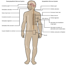 Nerve Map The Peripheral Nervous System Biology
