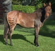 zorse hebra zony zonkey pictures names zebra