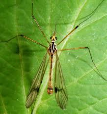 craneflies naturespot