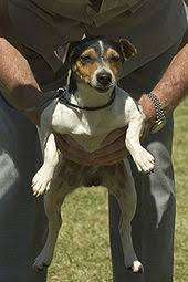 american pitbull terrier juen parson russell terrier wikipedia