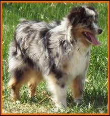 mini australian shepherd 8 weeks ghost eye mini aussies puppies available in sask canada litter 2