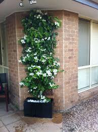Fragrant Jasmine Plant - best 25 jasmine climber ideas on pinterest jasmine star