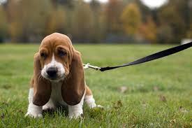afghan hound breeders qld cute artois hound puppies puppy dog gallery