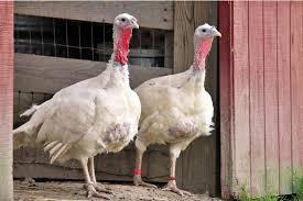10 things everyone should about free range turkeys