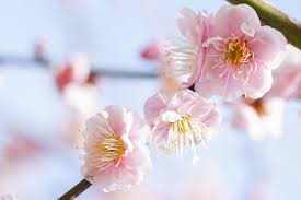 cherry blossom flowers 3 easy ways to spot the differences between cherry plum and