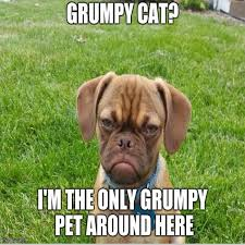 Grumpy Dog Meme - 23 really funny dog memes funny dog pictures