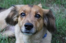 australian shepherd sheltie mix top 20 beagle hybrids