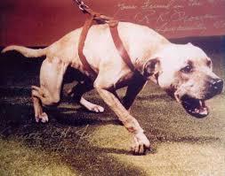 american pitbull terrier kingfish bloodline history of jeep pit bull bloodline good pit bulls