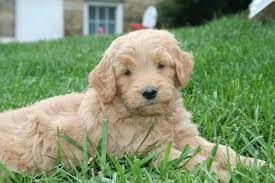doodle for adoption indiana goldendoodle and labradoodle puppies from yesteryear acres