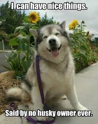 Funny Husky Memes - poor husky owners the meta picture