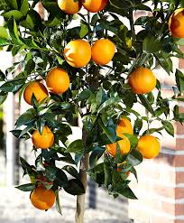 buy a container plant now orange tree bakker
