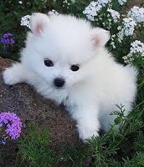 american eskimo dog yahoo top 5 most affectionate dog breeds the pet u0027s planet soo cute