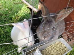 feeding meat rabbits fresh alternatives to rabbit pellets