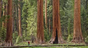 15 highest trees of the planet that are enhancing the forest