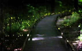 How Do Fireflies Light Up Synchronized Fireflies Lighting Skies At Congaree National Park