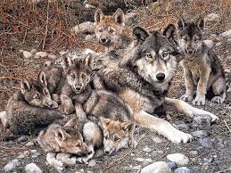 imagenes sorprendentes de lobos pin de fieggentrio en honden en wolven dogs and wolves pinterest