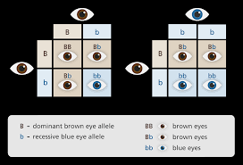 What Colors Mean What Are Dominant And Recessive Alleles Facts Yourgenome Org