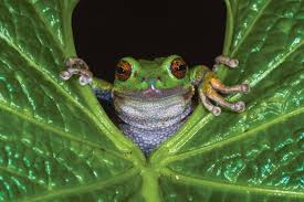 save the frogs animalanswers co uk everything you need to