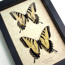 papilio glaucus pair yellow tiger swallowtail