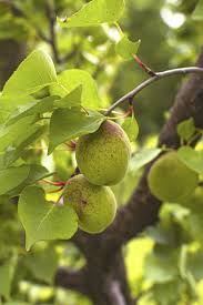 thinning apricot trees u2013 when and how to thin apricot fruit
