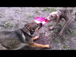 belgian shepherd vs pitbull fight weimaraner canine training videos