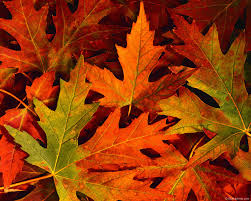 fall leaves gallery yopriceville high quality images and