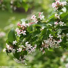 Most Fragrant Plants Sweet Emotion Hardy Abelia Abelia Mosanensis Proven Winners