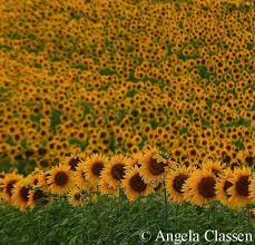 salina ks sunflower field by kansas state university on location natural images photography
