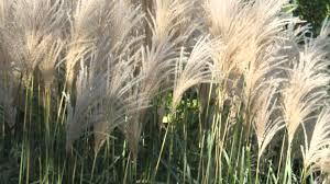 decor evergreen ornamental grass with drought tolerant ornamental