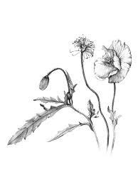 botanical illustration u2014 talya baldwin illustration